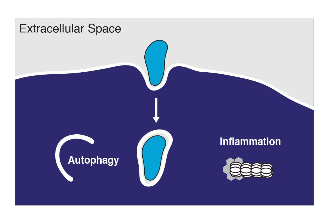 Autophagy and pyroptosis are two major pathways of intracellular cell-autonomous host defense.